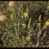 Goats Beard blossom & ball.  South Fork.  07/23/1954