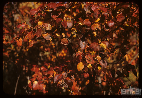 Autumn colours - South Fork Valley.  South Fork.  09/29/1952