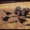 Dan Francis's turkeys..  Eastend.  10/16/1953