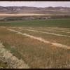 Alf Pearson's swathed oats..  Ravenscrag.  08/15/1956