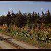 Hollyhocks - Herman Kemper driveway.  South Fork.  09/20/1950
