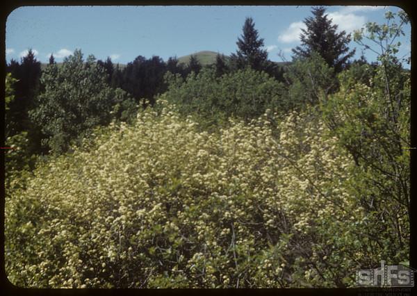Hawthorne.  South Fork.  06/14/1953