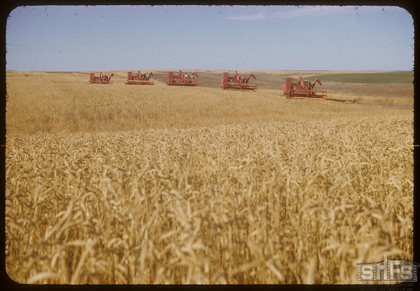 5 Massey-Harris combines at work on Roy Force's farm.  Shaunavon.  09/22/1952