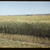 Promising winter wheat.  Swift Current.  08/11/1955