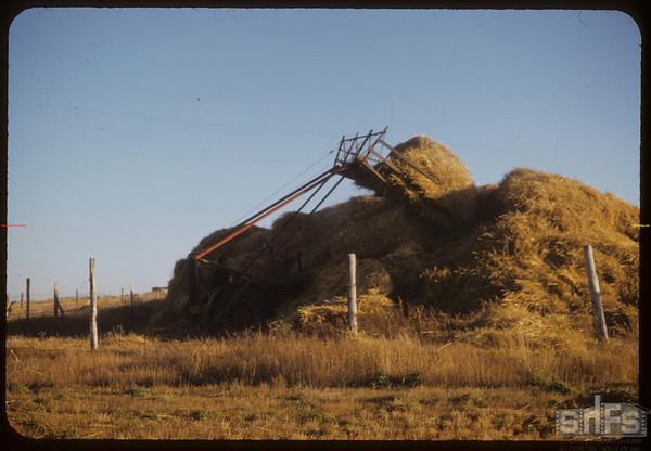 Ed Kronberg unloads at stack.  Shaunavon.  10/15/1952