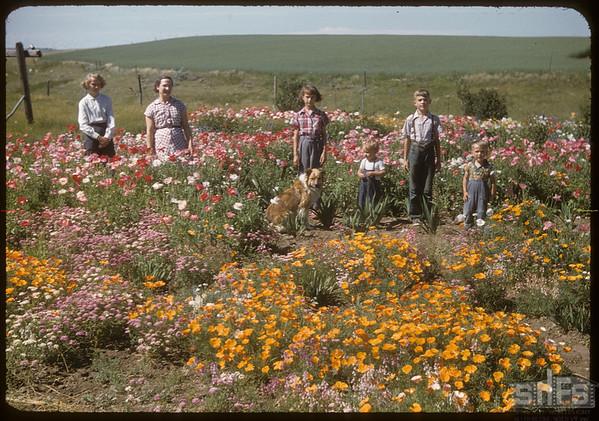 Mike Sand flower garden..  Shaunavon.  07/25/1956