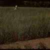 Dick Robin's oats.  Shaunavon.  09/03/1950
