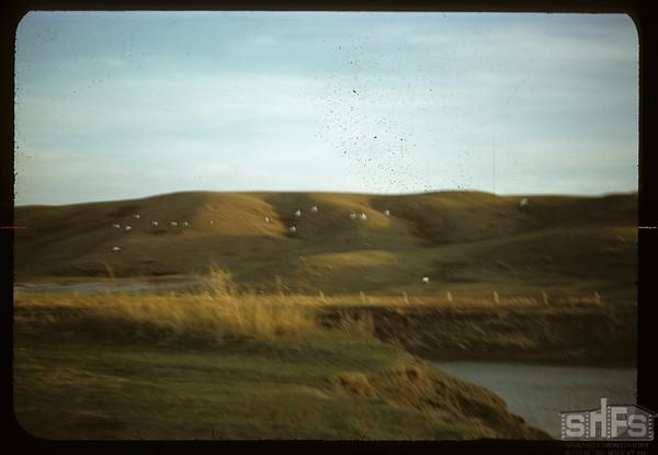 Pelicans rising below Val Marie dam.  Val Marie.  05/21/1950