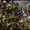 Mrs. Campbell's plums..  Shaunavon.  09/01/1952