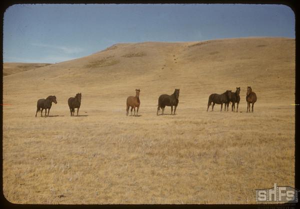 Horse Ranching Bill Smith Range.  South Fork.  09/25/1956