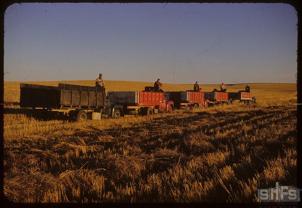 5 Massey-Harris combines at work on Roy Force's farm.  Shaunavon.  09/22/1952