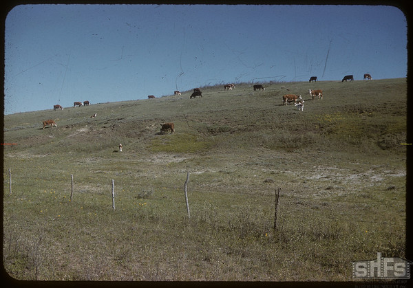 Grazing Cypress Hills Cattle.  South Fork.  05/18/1958