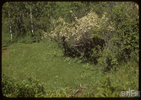 Hawthorne Blossoms Recreation Spot.  South Fork.  06/14/1953