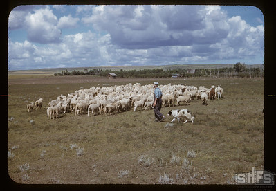 Charles Cooper's flock of sheep. Admiral.  10/11/1957.