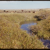 Cattle on Jone's Cr. in Maurice Dordeaus Pasture.  South Fork.  09/28/1952