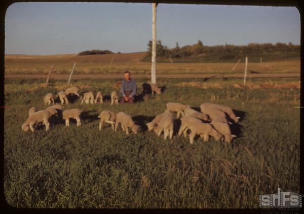 Jeff Williams & 30 orphan lambs.  Skull Creek P. O..  06/10/1951