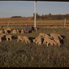 Jeff Williams & 30 orphan lambs.  Skull Creek P. O..  06/10/1951