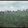 Cattle near James Olge's.  Wood Mountain.  08/05/1954