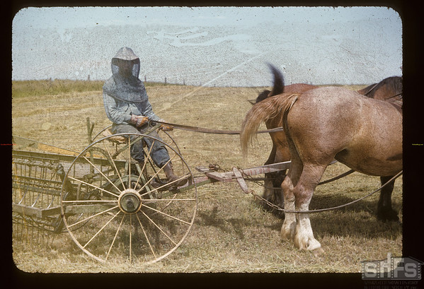 Mike Hoplocke of Box 99 - Kincaid [seated on horse drawn rake wearing mosquito netting]. Hazenmore.  07/22/1955
