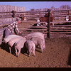 Harold Newhouse and pigs.	 Frontier.	 09/27/1961