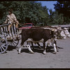 Rodeo Parade - Abe Peterson with oxen drawn Red River Cart.  Shaunavon.  07/20/1964