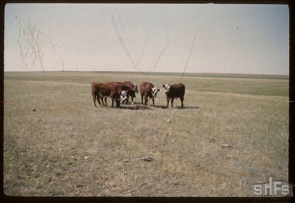 Cattle on Wood Mountain to Fort Walsh trail - Pinto Horse Buttes. Regina 07/21/1960