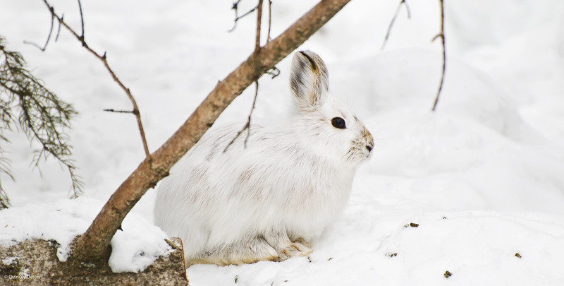 """March 28, 2011<br /> <br /> """"Bunny Wabbit""""<br /> <br /> Elk Island Retreat<br /> Near Fort Saskatchewan, Alberta<br /> <br /> * This image was taken yesterday out at our campsite. We still have a lot of snow but I see some colours coming out of this rabbit."""