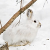 "March 28, 2011<br /> <br /> ""Bunny Wabbit""<br /> <br /> Elk Island Retreat<br /> Near Fort Saskatchewan, Alberta<br /> <br /> * This image was taken yesterday out at our campsite. We still have a lot of snow but I see some colours coming out of this rabbit."