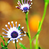 "May 28, 2011<br /> <br /> ""Funky Daisy""<br /> <br /> * I planted a couple of these this year, I am sure they will be alot of fun."