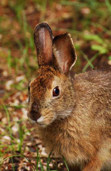 """July 19, 2011  """"Bush Bunny""""  Snowshoe Hare Elk Island Retreat Near Fort Saskatchewan, Alberta  * This little guy hangs out at our site quite a bit. Although he can be very hard to spot while in the bush, he came <u>really</u> close this time."""