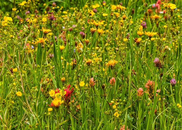 Waterton Wildflowers