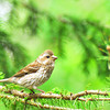 June 11, 2011<br /> <br /> Female Purple Finch
