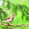 June 11, 2011<br /> <br /> Female Purple Finch