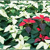 December 22, 2012<br /> <br /> Poinsettia-ville<br />  <br /> I have challenged myself to post Christmas images for the next 12 days of Christmas. I hope to create a few Christmas cards for next year. I hope you enjoy the series and encourage all to join me :)<br />  <br /> * I took this image while visiting the Enjoy Centre greenhouse while on a camera club outing. Wall to wall poinsettias - it is quite a sight to behold.<br /> <br /> Enjoy Centre<br /> St. Albert, Alberta