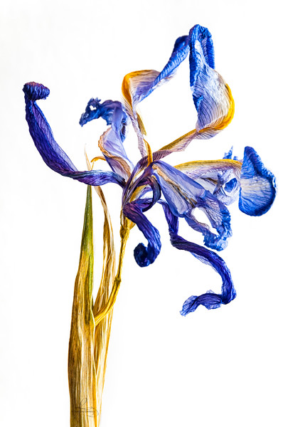 Ever Iris