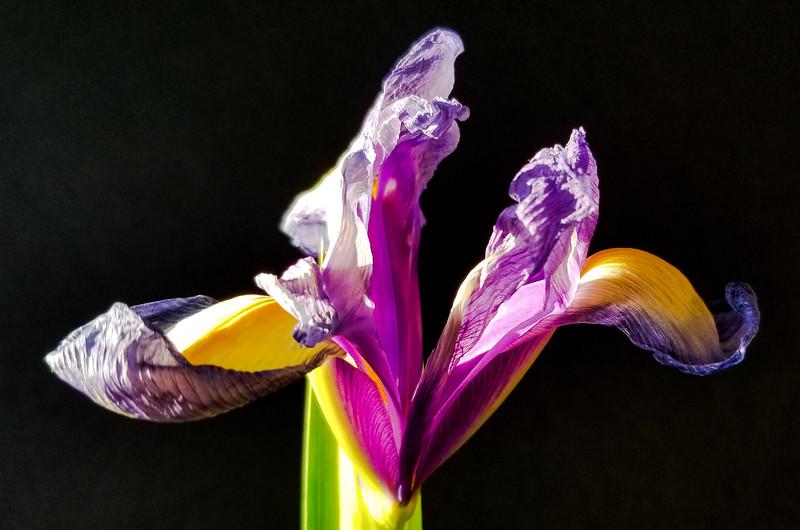 The Irresistible Iris
