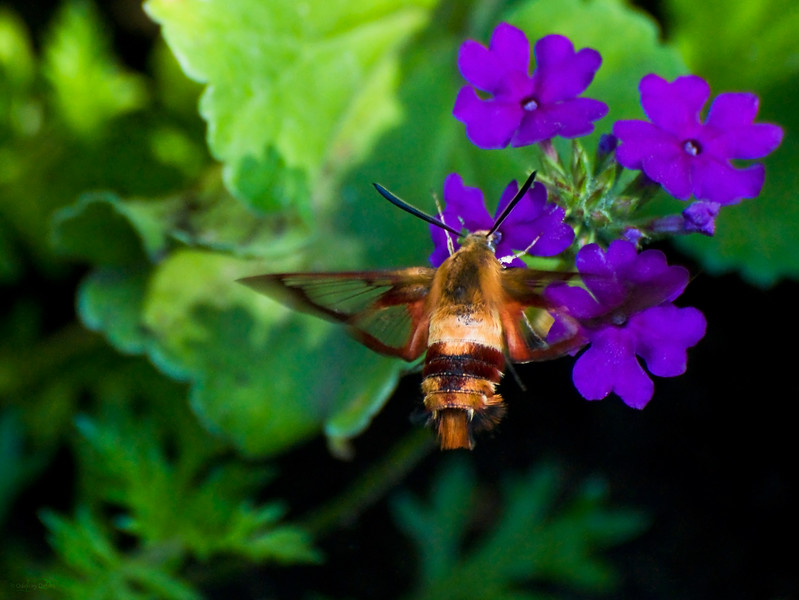 November 15, 2012<br /> <br /> Hummingbird Moth<br /> <br /> Elk Island Retreat<br /> Near Fort Saskatchewan, Alberta<br /> <br /> * This is a Hummingbird Moth. I had received a newsletter from my local bird store where they had an article about this little critter. I was sure glad I read it, because when this one flew in I knew right away what it was. They fly like a hummingbird, and are very bottom heavy. It was very fast but I managed to get a shot!!