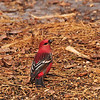 February 15, 2012<br /> <br /> Pine Grosbeak<br /> <br /> ~ Sticking with the theme from yesterday... you cannot help but love this guy!!<br /> <br /> Elk Island Retreat<br /> Near Fort Saskatchewan , Alberta<br /> <br /> * For the month of February, I will be processing images of my furry and feathered friends. I hope you enjoy them :)