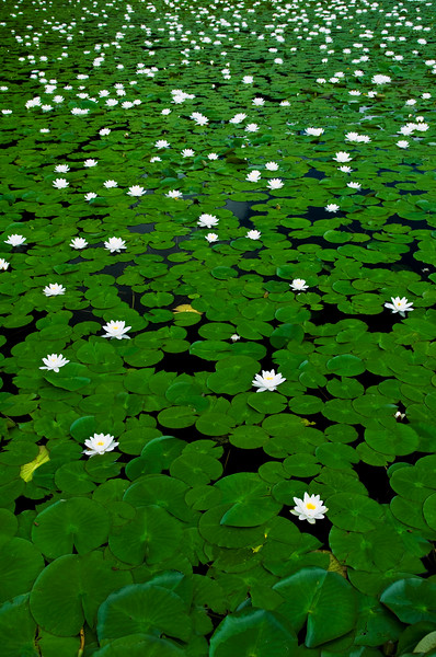 September 1, 2012<br /> <br /> Water Lillies<br /> <br /> Dutch Lake, B.C.