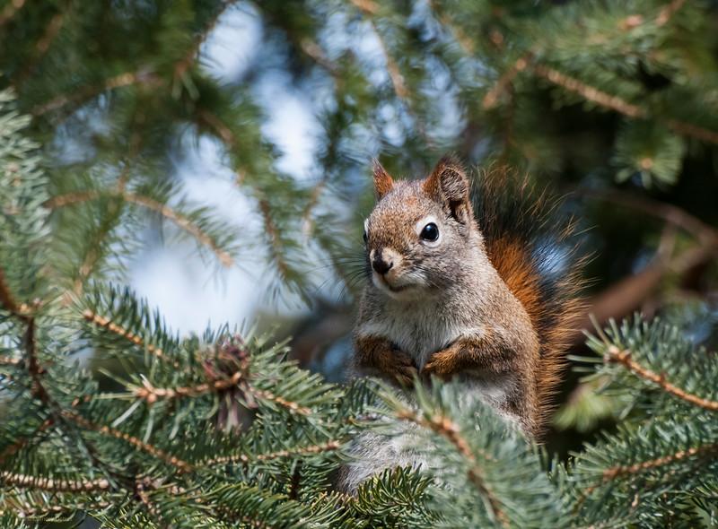 April 22, 2014<br /> <br /> Spring Squirrel<br /> <br /> Elk Island Retreat<br /> Rural Alberta