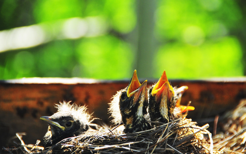 """March 26, 2011<br /> <br /> """"Baby Robins""""<br /> <br /> Elk Island Retreat<br /> Near Fort Saskatchewan, Alberta<br /> <br /> * This image was taken at the end of June last year. The babies were only in the nest for about 7 days from the time they hatched to when they flew away<br /> I have some more pictures of them in my Birds gallery:<br />  <a href=""""http://quinceydeters.smugmug.com/Animals/Birds-2"""">http://quinceydeters.smugmug.com/Animals/Birds-2</a>"""