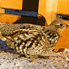 """Day Thirty-Seven<br /> <br /> """"Ruffed Grouse""""<br /> <br /> Elk Island Retreat, Alberta<br /> <br /> I went out to my campsite on Sunday to feed the birds and squirrel and this is who was waiting for me :)"""