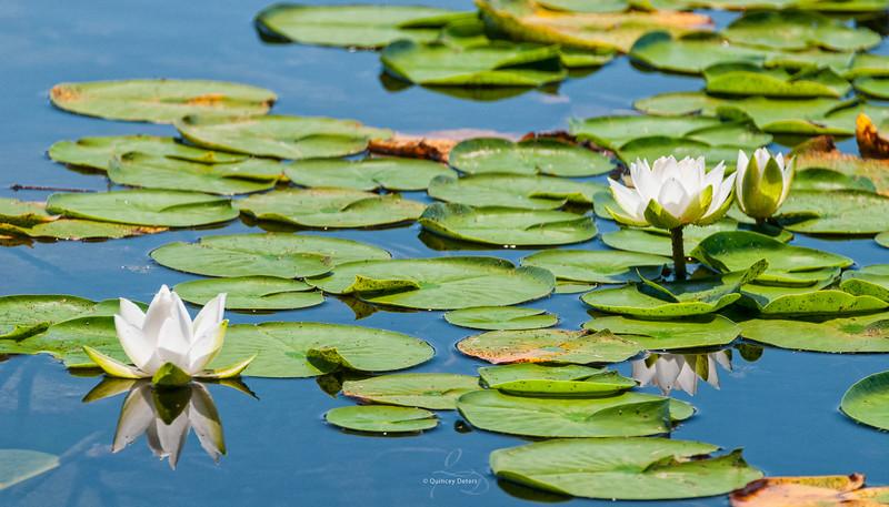 Lilies on the Lake