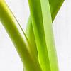 Tulip Greens