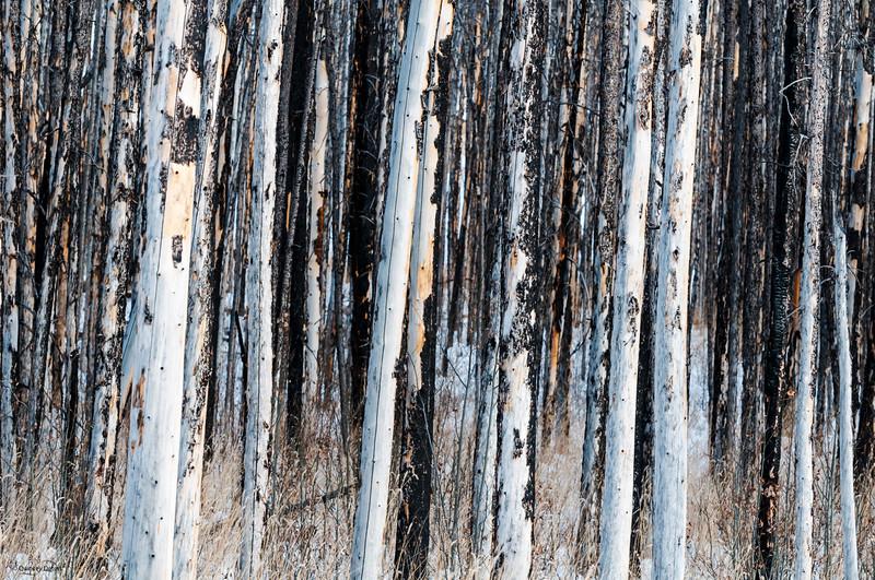 November 24, 2014<br /> <br /> Dense Forest<br /> <br /> Kootenay Plains, Alberta