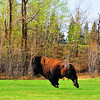 May 15, 2011<br /> <br /> Bison in Flight<br /> <br /> Elk Island National Park, Alberta