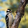 February 18, 2012<br /> <br /> Male Downy Woodpecker<br /> <br /> Elk Island Retreat<br /> Near Fort Saskatchewan , Alberta<br /> <br /> * For the month of February, I will be processing images of my furry and feathered friends. I hope you enjoy them :)