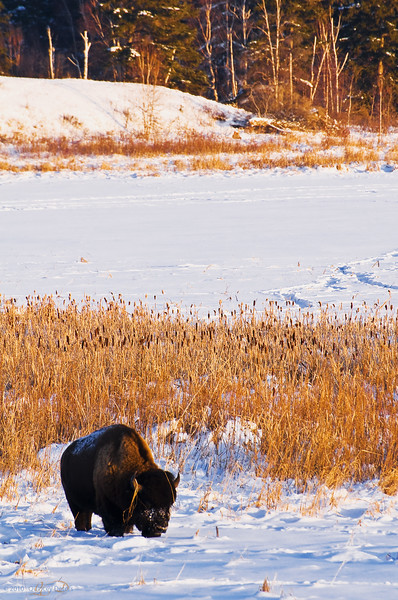 "Day Fifty-Eight<br /> <br /> ""Bison in Winter""<br /> <br /> Elk Island National Park, Alberta"