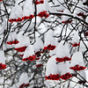 December 29, 2011<br /> <br /> Mountain Ash<br /> <br /> Edmonton, Alberta<br /> <br /> This picture was taken last year, when we had snow. So far this year has been very mild which makes taking winter pictures a task. I don't need the snow, I have memories LOL<br /> <br /> * For the month of December I am challenging myself to post images that could be used as a Christmas card. I hope you enjoy them :)