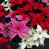 December 12, 2011<br /> <br /> National Poinsettia Day<br /> <br /> Hole's Greenhouse at the Enjoy Centre<br /> St. Albert, Alberta<br /> <br /> * For the month of December I am challenging myself to post images that could be used as a Christmas card. I hope you enjoy them :)